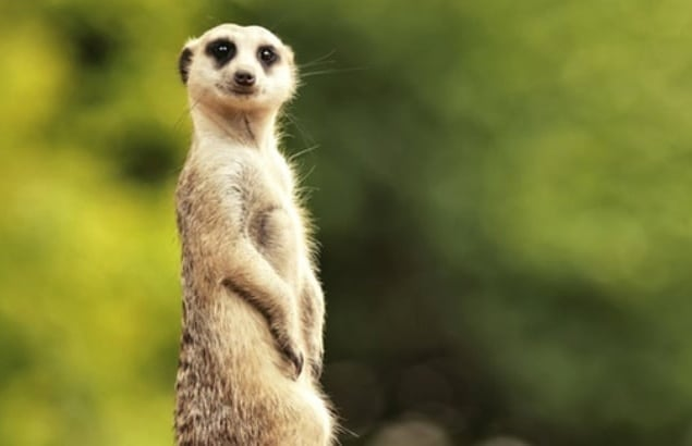 Meerkat-Meet-Animal-Experience-Yorkshire.jpg