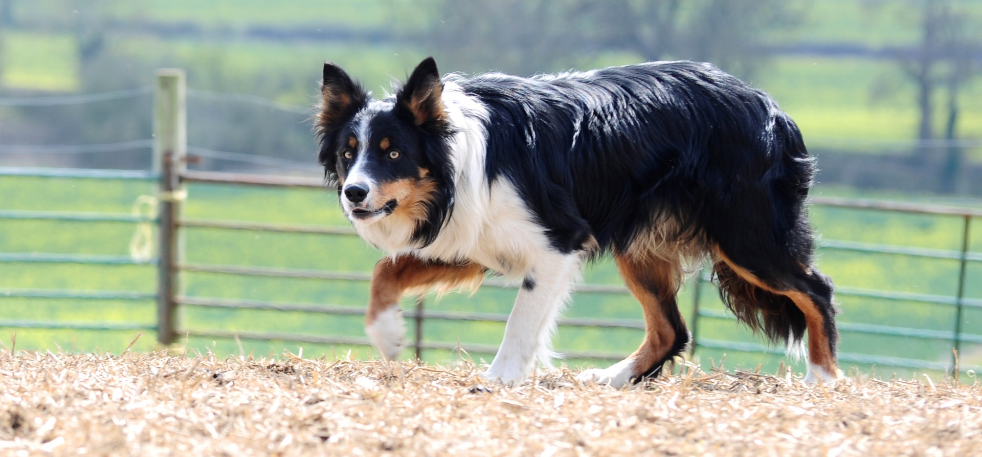 Sheepdog Training Experience for Two - Leicestershire-7