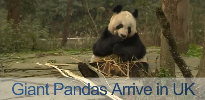 Giant Pandas Arrive in UK