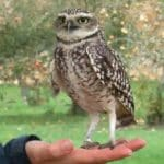 pedro-burrowing-owl