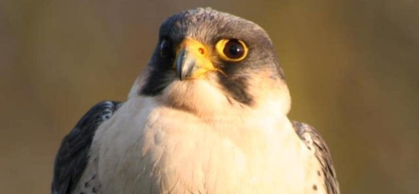 Full Day Falconry Experience Kids - Warwickshire-5