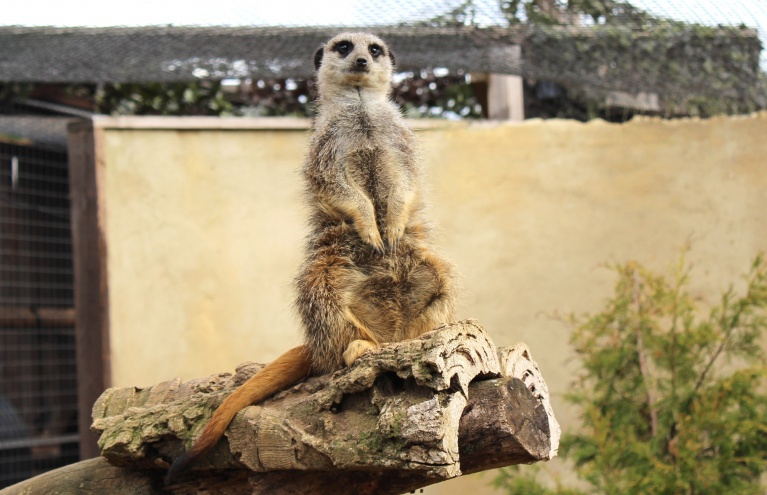 meerkat-at-millets-falconry-photography-oxfordshire.jpg
