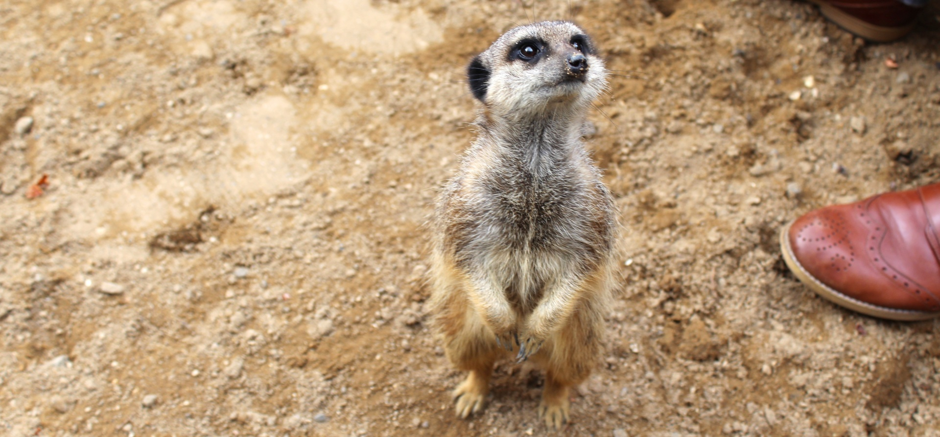 30 Minute Meerkat Experience - Oxfordshire-4